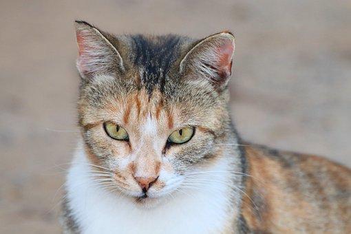 Cat, Animal, Domestic Cat, Pet, Nature, Alley Cat