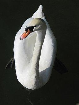 Swan, White, Water, Nature, Water Bird, Lake, Bill