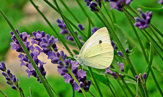 Butterfly, Insect, Flowers, Lavender, Nature, Macro