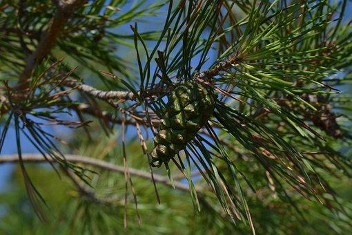 Christmas Tree, New Year 2019, Cone, Pine Cone, Nature