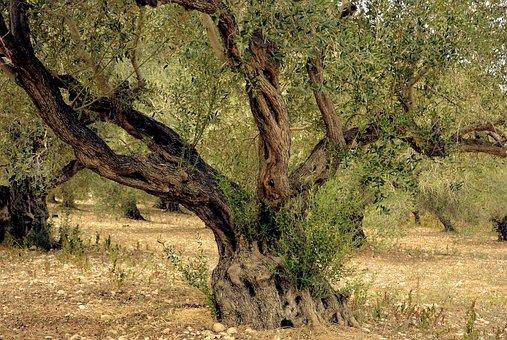 Olive Tree, Olives, Tree, Nature, Plantation