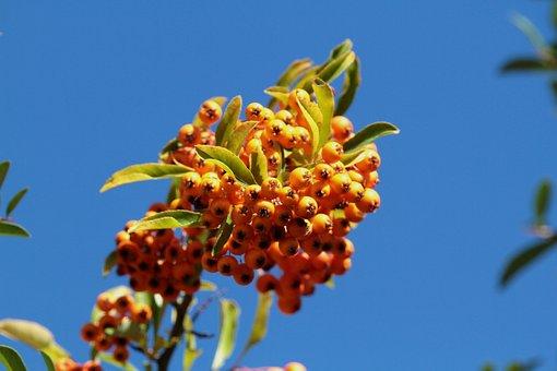 Firethorn, Berries, Orange, Bush, Fruits