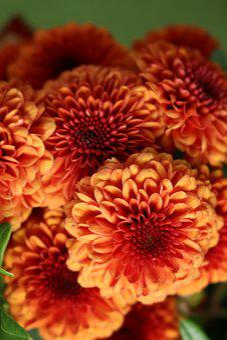 Chrysanthemum, Flower, Flowers, Nature, Orange, Yellow