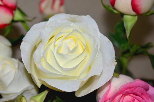 Flower, Rosa, Plant, Flora, Romantic