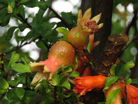 Pomegranate, Fruit, Nature