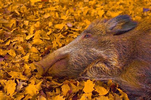 Portrait, Wild Boar, Head, Wild Boar Sleeping, Forest
