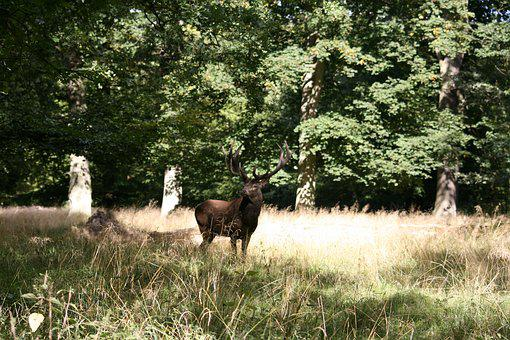 Hjort, Red Deer, Deer Park, Heat, Wild, Natural
