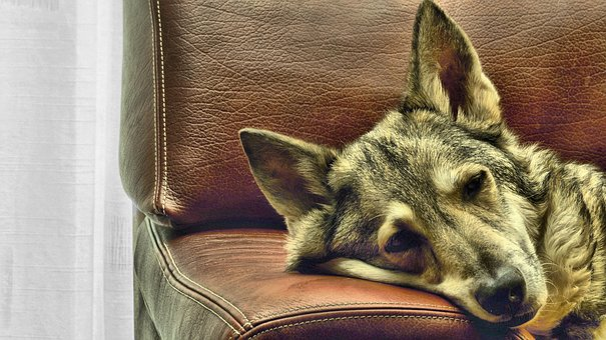 Dog, Bank, Rest, Pet, Animal, Sofa, Cute, Relax