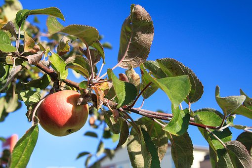 Apple, Fruit, Fruit Trees, Orchard, Nature, Ripe