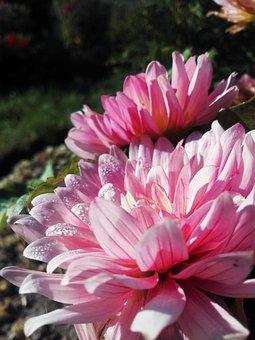 Flowers, Rosa, Autumn, October, Nature, Flora, Astra