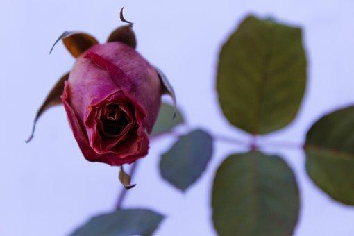Rose, Rose Bush, Rose Petals, Flowers, Floral, Leaves
