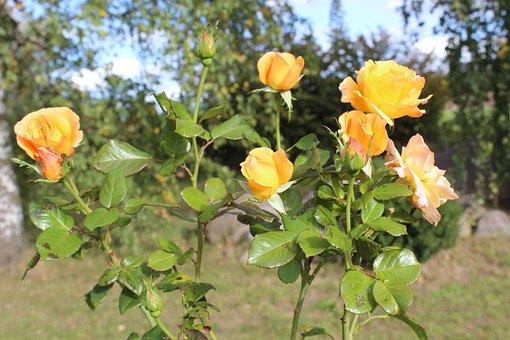 Rosebush, October Rose, Late, Rose, Beautiful, Fragrant