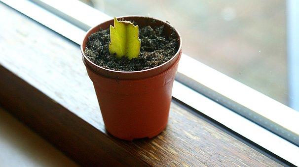 Cutting, Lidcactus, Christmascactus, Small, Window Sill