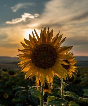 Sunflower, Sunset, Summer, Nature, Sky, Landscape