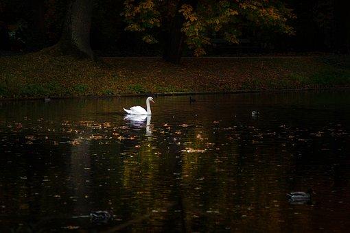 Swan, Park, Mute Swan, Pond, Water, White, Dark, Autumn