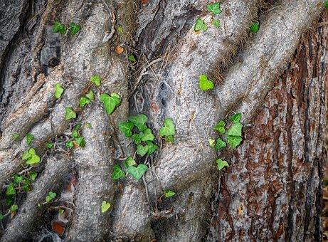 Tree Bark, Bark, Wood, Ivy, Vine, Tree, Structure