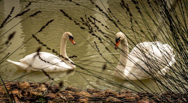 Swans, Waterfowl, Lake, Waters, Couple, White, Idyllic