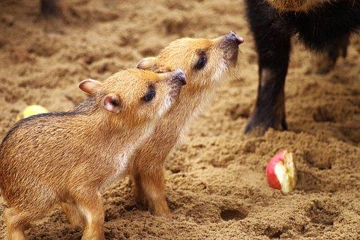 Little Pig, Wild Boars, Piglet, Animal Children, Food