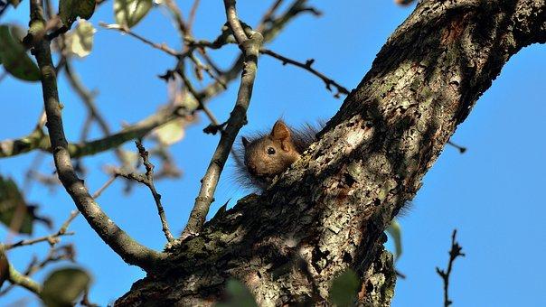 The Squirrel, Tree, Hidden, Wild, Animals, Forest