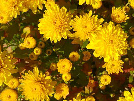 Flowers, Yellow, Autumn, Wood, Chrysanthemum