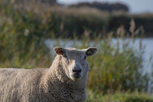 Sheep, Wool, Cattle, Meadow, Animals, Herd, Countryside