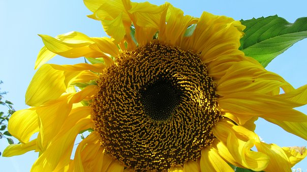 Sunflower, Yellow, Bloom, Summer, Blossom