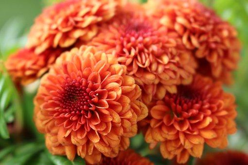 Chlysanthemum, Flowers, Orange, Yellow