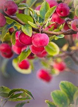 Apple, Zieraepfel, Fruits, Red, Autumn, Branch