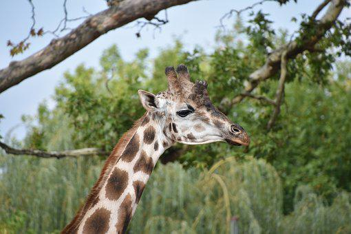 Giraffe, Nature, Africa, Wild, Head, Mammal, Neck, Zoo