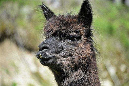 Alpaca, Closeup, Animal, Animal Portrait, Head