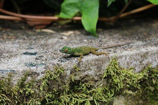 Colorful Lizard, Anolis Distichus, Dominican Republic