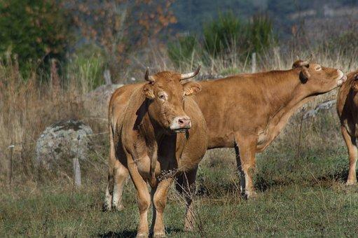 Cow, Race, Aubrac, Breeding, Herd, Livestock