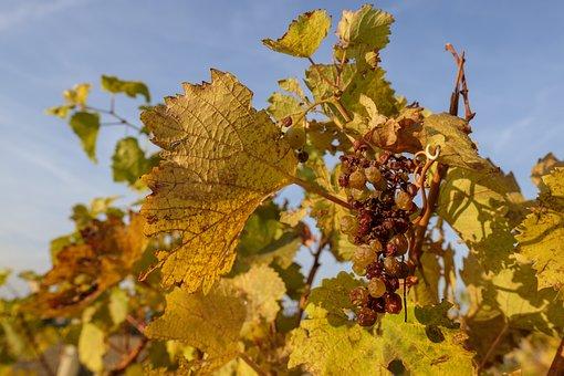 Autumn, Leaves, Grapes, Wine, Vineyards, Vines