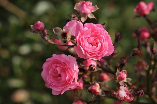 Pink Roses, Bush, Flowers, Bloom, Blossom, Autumn
