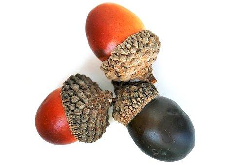 Acorns, Autumn, Seeds, Nature, Tree, Oak, Plant, Brown