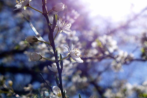 Cherry Blossoms, Spring, Sun, Color, Light, Live, Plant