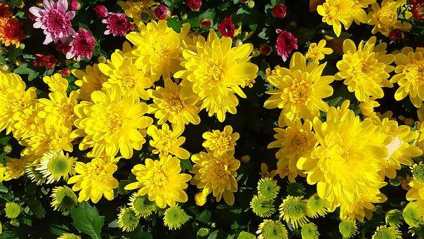 Yellow Flower, Autumn, Chrysanthemum