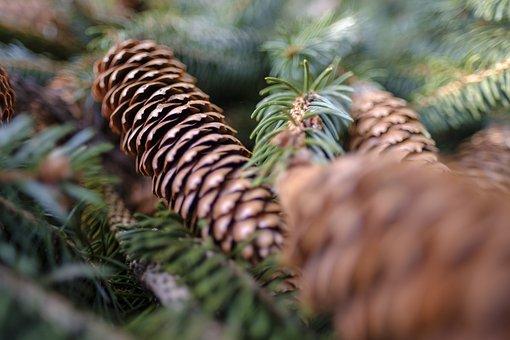 Conifer, Fir Tree, Spruce, Pine Cones, Green, Needles