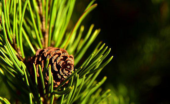 Tap, Pine, Nature, Tree, Branch, Conifer, Needles
