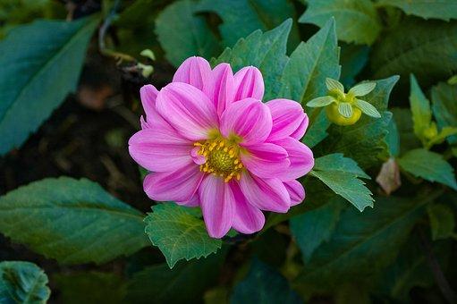Dalia, Flower, Pink, Garden