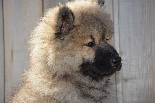 Dog, Dog Eurasier, Pup, Dog Olaf-blue, Puppy