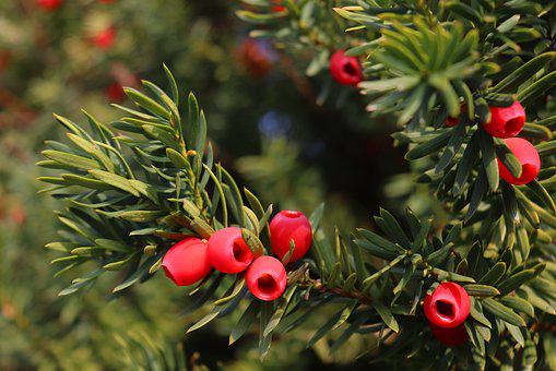 Yew, Fruit, Red, Plant, Berries, Evergreen, Toxic