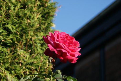Rose, Blossom, Bloom, Pink, Garden, Flower