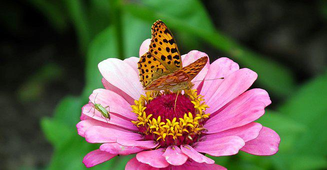 Butterfly, Insects, Flower, Zinnia, Nature, Macro