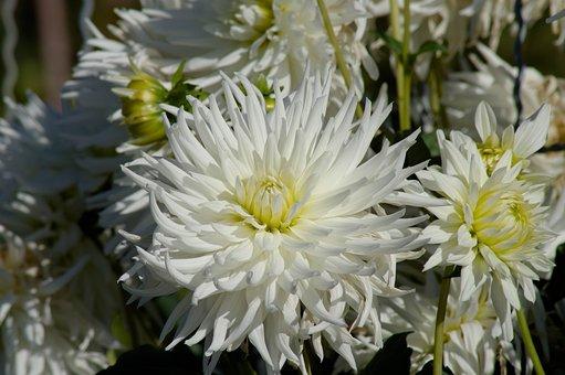 Flower, Dahlias, Garden, Petals, White