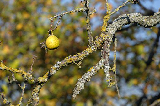 Pear, Fruit, Autumn, Lonely
