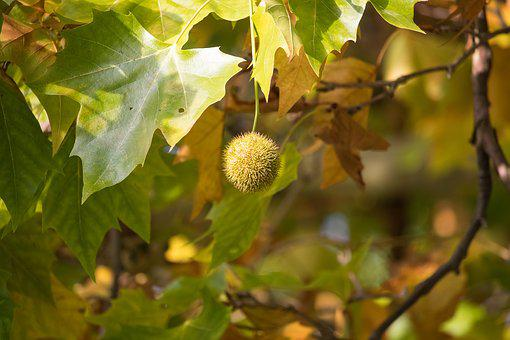 Sycamore, Fruit, Maple Leaved Plane, Autumn, Leaves