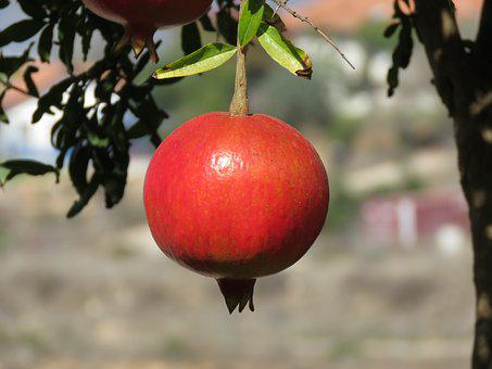Pomegranate, Fruit, Tree, Summer, Ripe