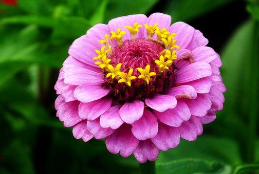 Flower, Zinnia, Colored, Garden, Macro, Nature, Beauty