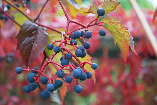 Grapes, Nature, Leaves, Wild Grapes